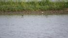 Alcuni uccelli migratori a caccia di insetti nella risaia allagata