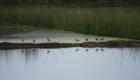 Uccelli migratori nella risaia allagata