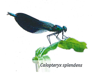 Calopteryx splendens - Libellula bioindicatore significativo per la nostra risaia di Grumolo delle Abbadesse dove coltiviamo il riso secondo natura