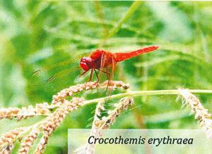 Crocothemis erytraea - Libellula bioindicatore significativo per la nostra risaia di Grumolo delle Abbadesse dove coltiviamo il riso secondo natura