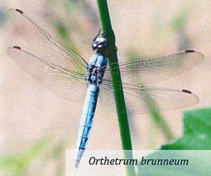 Orthetrum brunneum - Libellula bioindicatore significativo per la nostra risaia di Grumolo delle Abbadesse dove coltiviamo il riso secondo natura